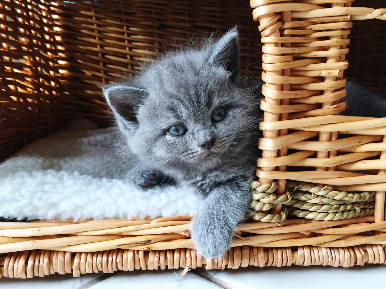Domestic Cat Pets Mammal Basket Animal Themes Cats Of EyeEm Catlovers Cat British Shorthair (null)Relaxation (null)No People Portrait One Animal Cats Katze Sweet Lovely Domestic Animals (null)Indoors  Liebe Babycat