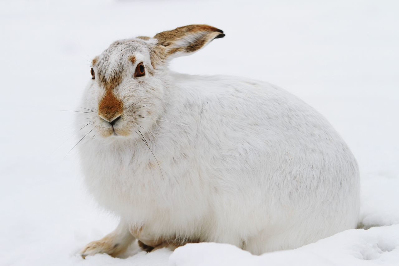 Rabbit One Animal Snow Animals In The Wild Animal Wildlife No People Cold Temperature Close-up Animal Themes White Background Outdoors Bokeh Explorealberta Winter Canonphotography Stare Me