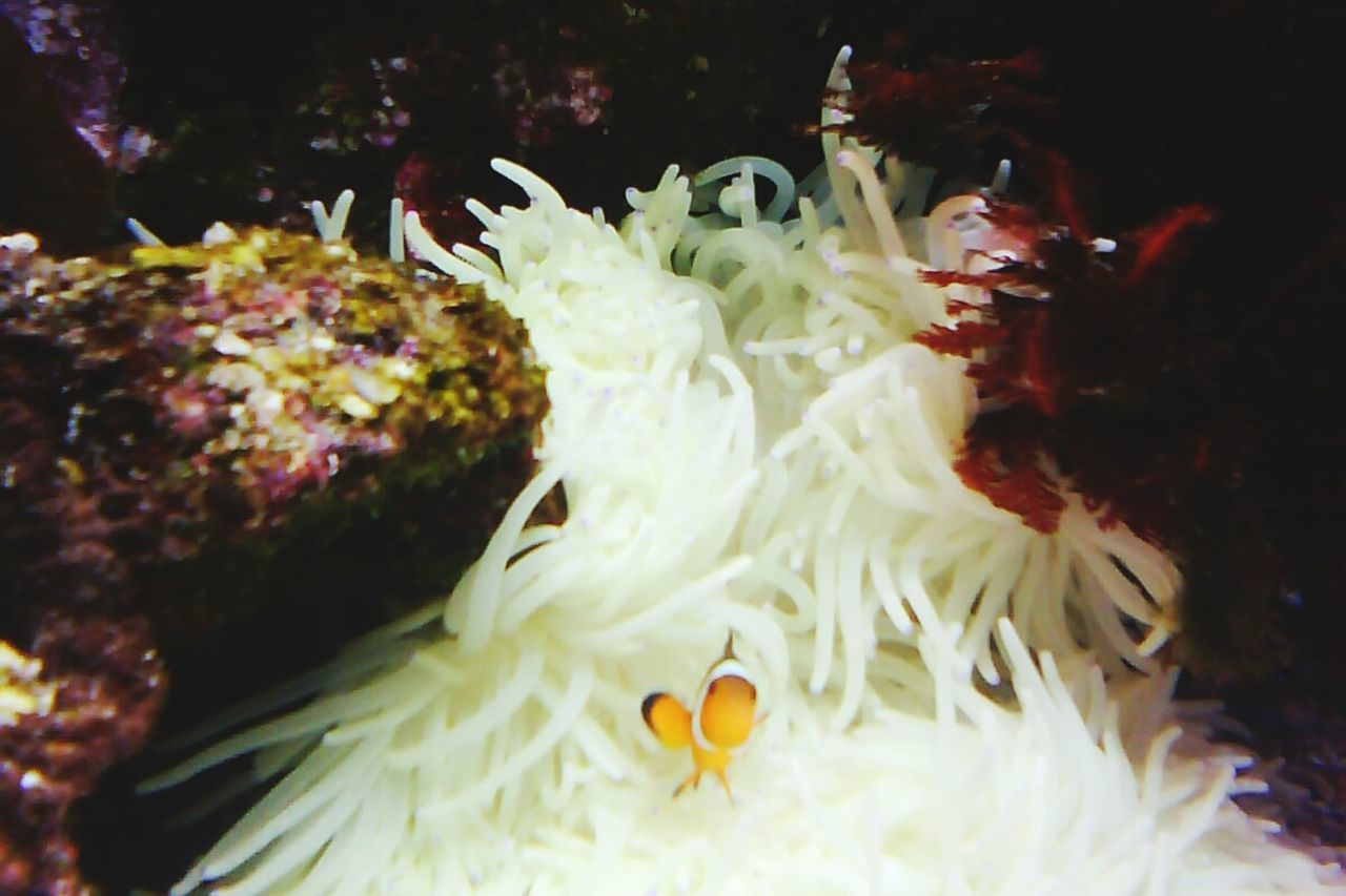underwater, water, animal themes, sea anemone, no people, undersea, sea life, clown fish, coral, animals in the wild, swimming, close-up, one animal, nature, indoors, beauty in nature, day