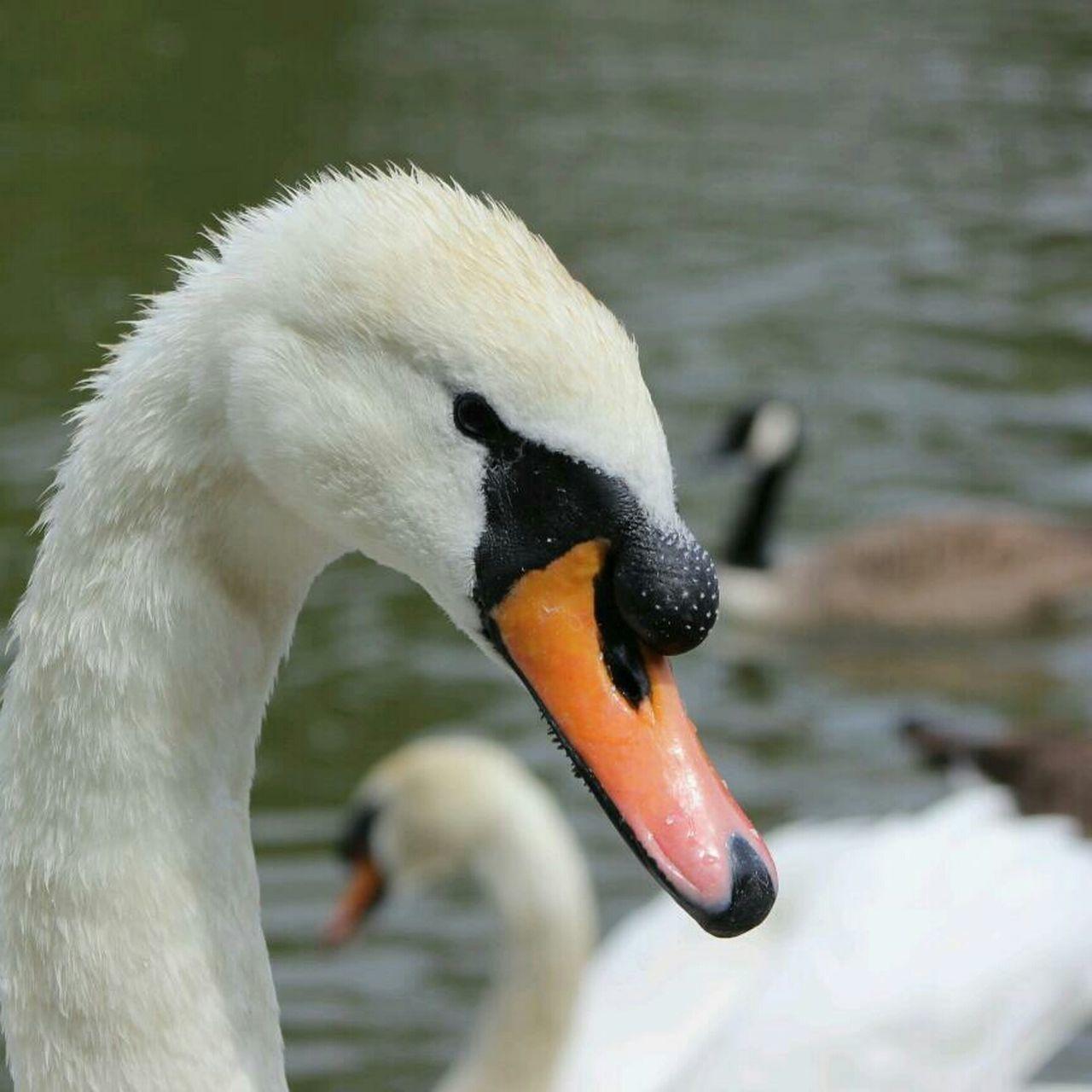 swan, bird, animals in the wild, animal themes, beak, one animal, lake, focus on foreground, white color, animal wildlife, water bird, close-up, swimming, no people, nature, water, day, outdoors, black swan