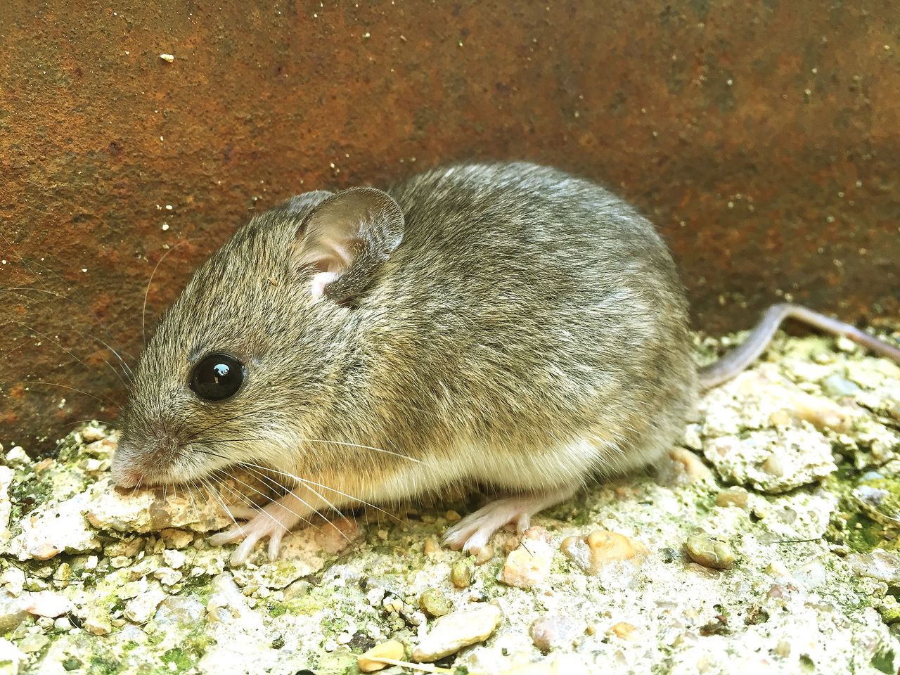 Animal Animal Themes Animals In The Wild Close-up Day Environment Harmful Harmful Harmful, Detrimental, Destructive, Injurious, Damaging, Deleterious; Malign, Noxious, Poisonous High Angle View Mammal Mouse Mouses Mus Musculus Nature No People Outdoors Pest Pest Control Plague Rat Rats Wild