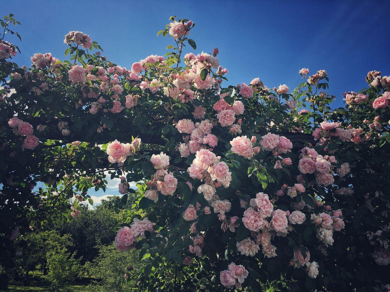 Nature Green White White Flower White Rose White Roses Blue Sky Summer Sky  Summer Stroll Rose Garden Pink Pink Roses Pink Flowers Botanical Garden Summer In Berlin Spirit Of Summer Summer Flowers