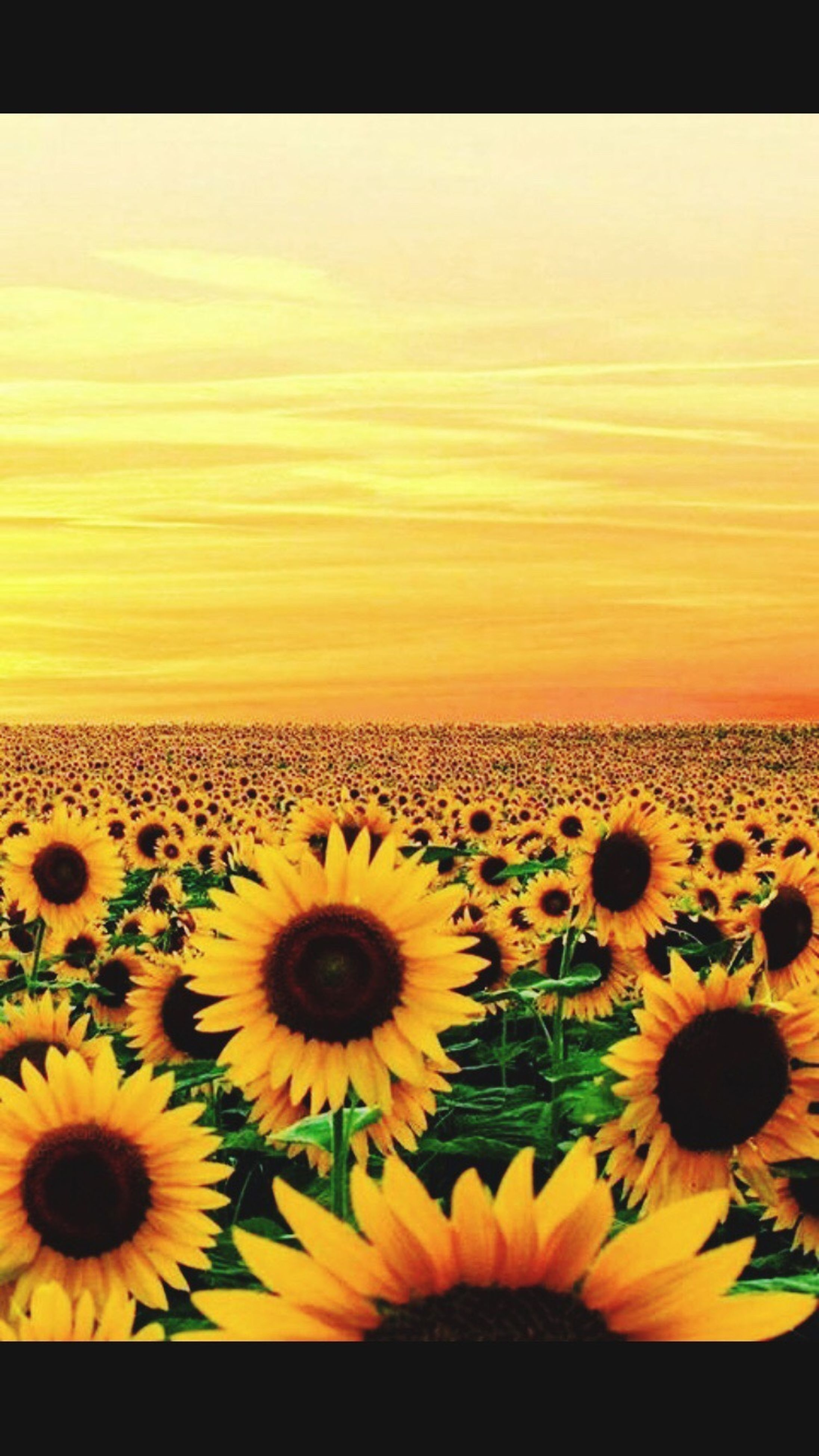 flower, yellow, sunflower, beauty in nature, freshness, flower head, petal, nature, tranquility, romantic sky, vibrant color, tranquil scene, sky, fragility, scenics, no people, blossom, agriculture, pollen, sea