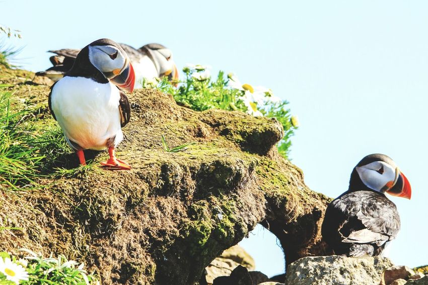 Bird Animal Themes Animals In The Wild Outdoors Nature Day Beauty In Nature No People One Animal Puffin Puffins Nature Water Animals In The Wild Animal Wildlife Ocean View Iceland Rock Grass Field