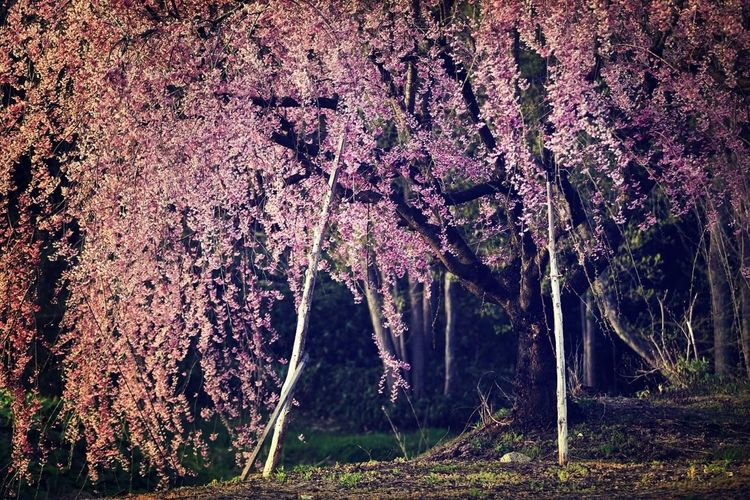 Nature Spring Cherry Blossoms