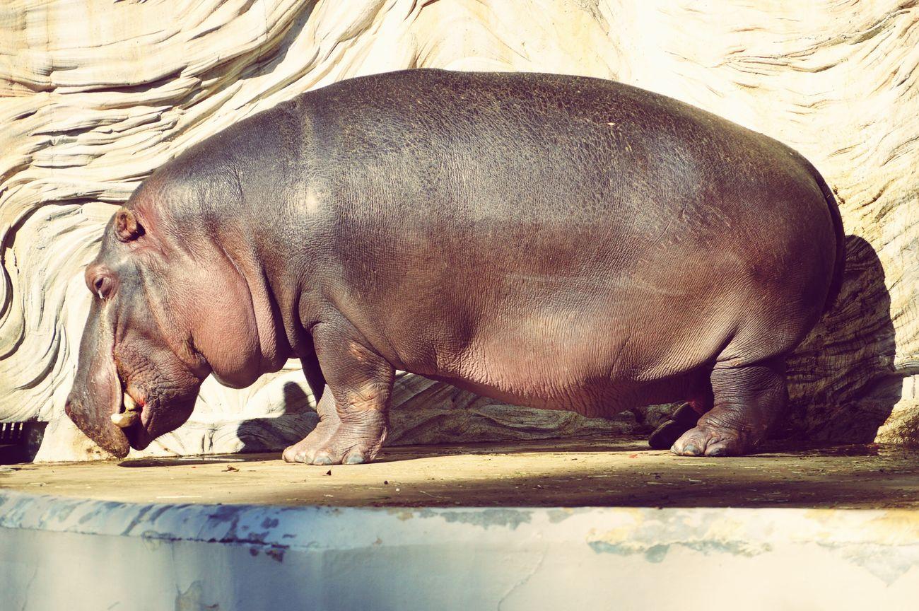 Hipopotamó Hipopotam