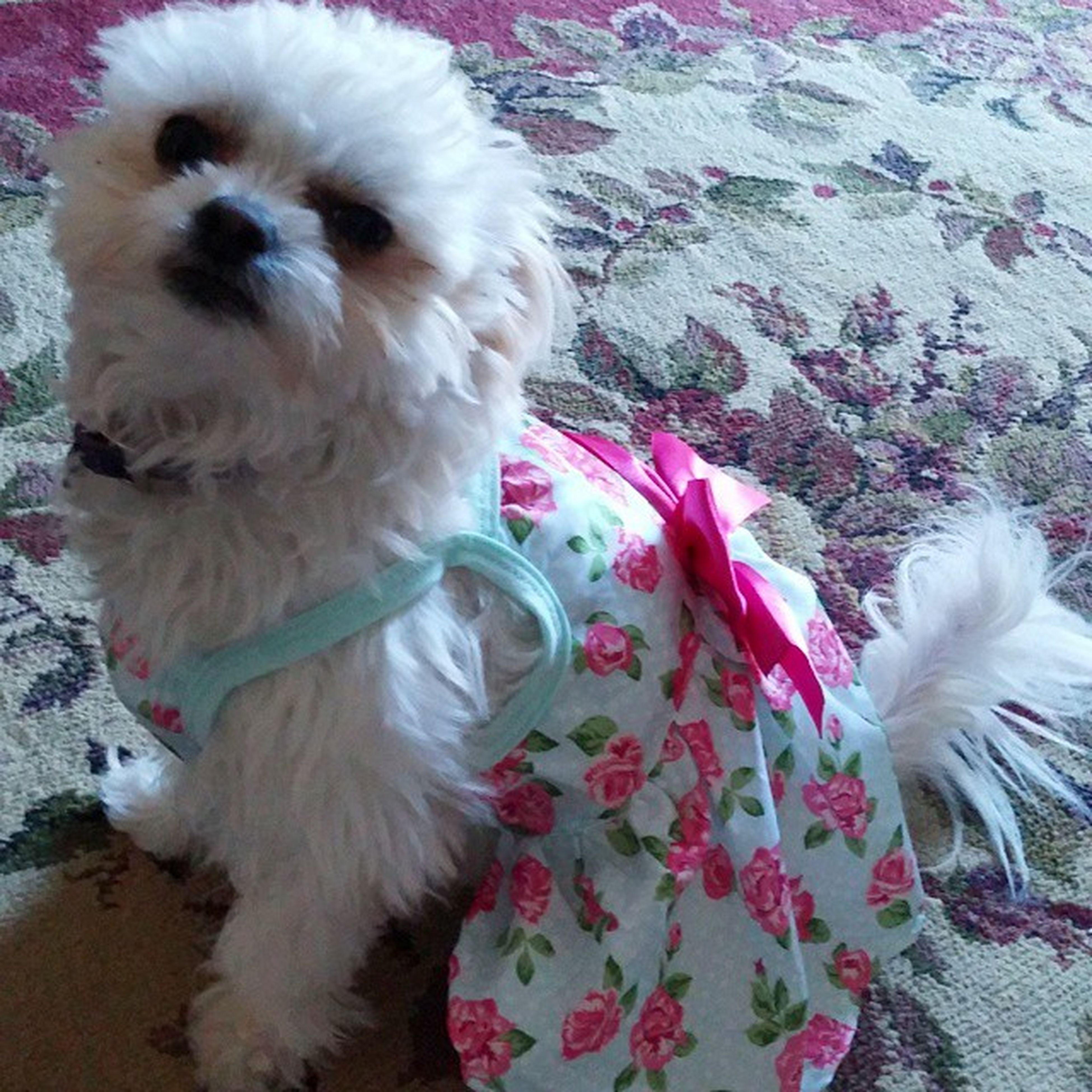 luna modeling her new dress!! Pom Ewokian Cute Beautiful Sweet Dogindress Southernbelledog Girliedog Fluffy Modeldog