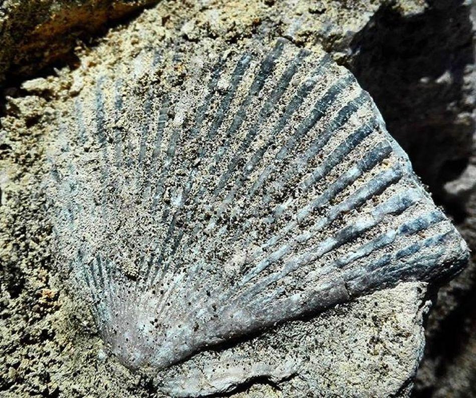 Shellfossil Fossil Rock Beachfind Beach Nature