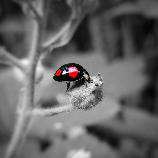 🐞 Bugslife LGG5 Lgg5photography Ladybug Ladybird Nature Wildlife Blackandwhite Colorpop