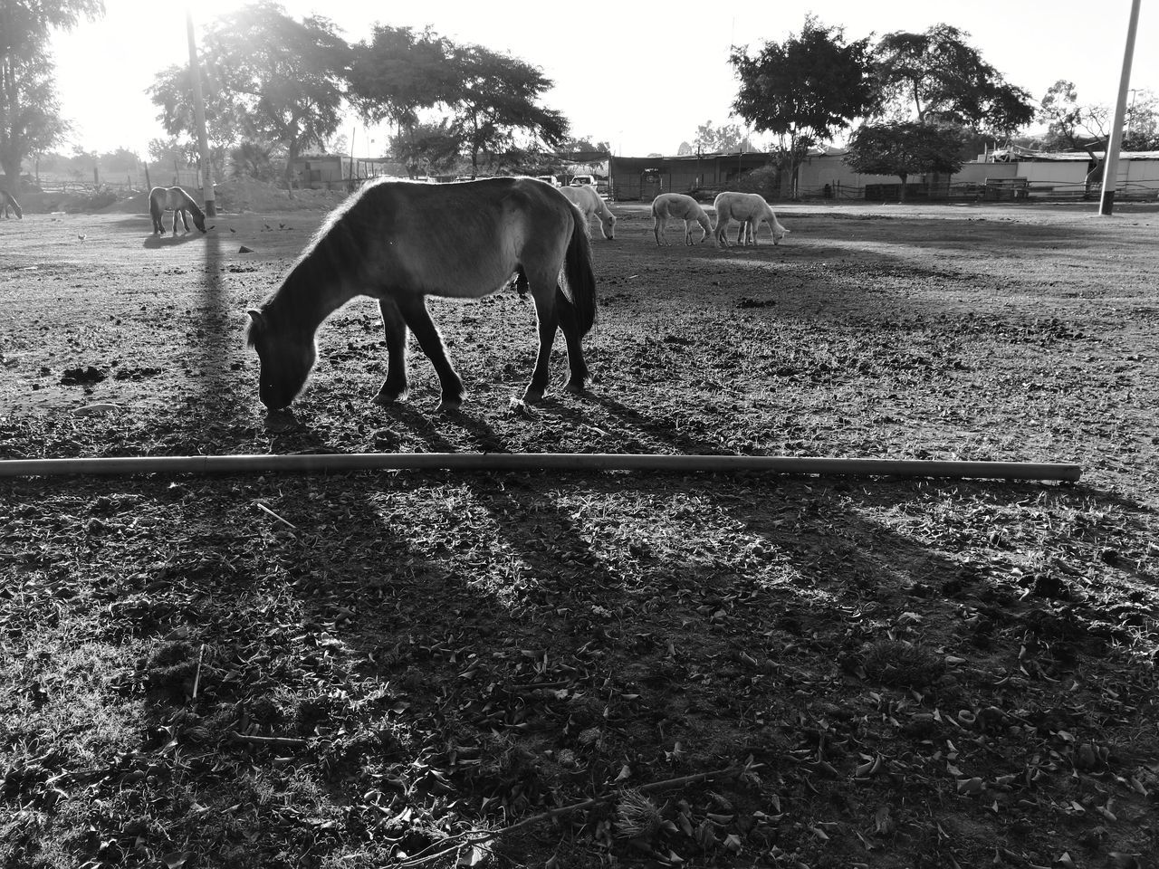 Little horse Domestic Animals Animal Themes Mammal One Animal Tree Day Livestock Outdoors Nature Agriculture Sky Rural Scene No People Fresh 3 Leica Huawei P9 Eye4photography  EyeEm Best Shots Horse Horse Photography  Nature Animal Wildlife Animal Biancoenero Blancoynegro Blackandwhite