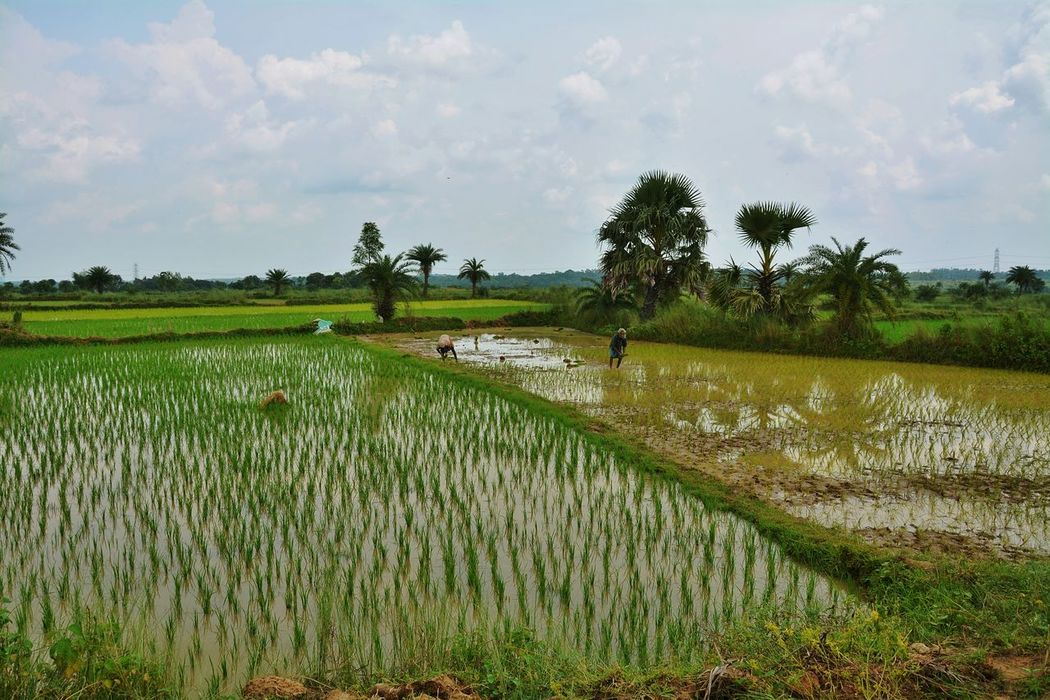Agriculture Crop  Rice Paddy Field Rice - Cereal Plant Farm Water Rice - Food Staple Rural Scene Landscape Tree Nature West Bengal Incredible India Bankura Chururi