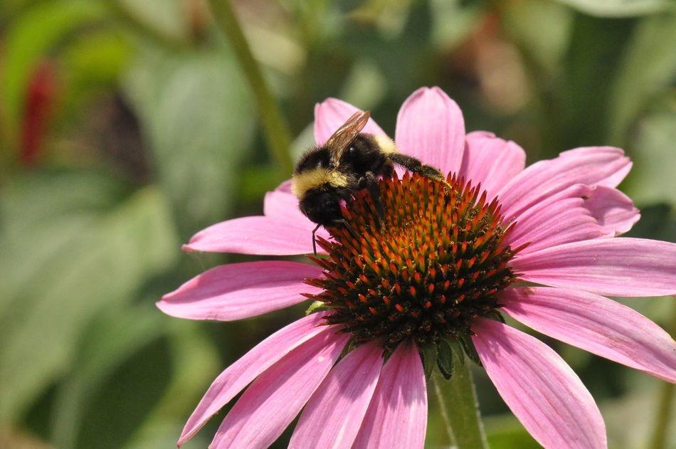 Bumblebee Flower Nateral Pink Republic Of Bashkortostan Summer Башкирия Природа цветок  шмель