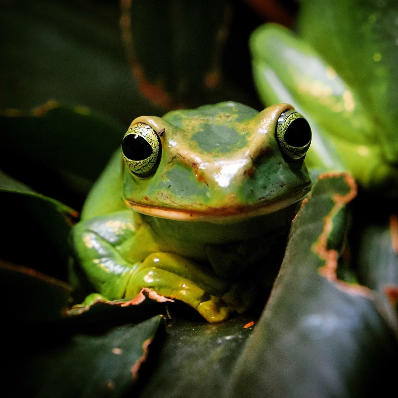 One Animal Animal Themes Frog Looking At Camera Green Color Animals In The Wild Nature Animal Wildlife Close-up No People Outdoors Day Portrait Wildlife Wildlife & Nature Nature Photography Animal Head  Animal Photography Greenfrog Nature_collection Animal_collection