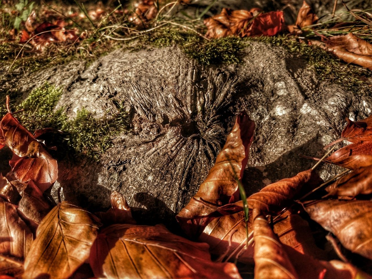 Nature Beauty In Nature Sunlight, Shades And Shadows Wintertime Fallen Leaves Country Walks Fallen Leaf Hole Beechleaves Golden Moments  RootPorn Beech Leaves Beechwood Beech Trees Beechtree Exploring Nature_collection Nature's Diversities Natures Colours