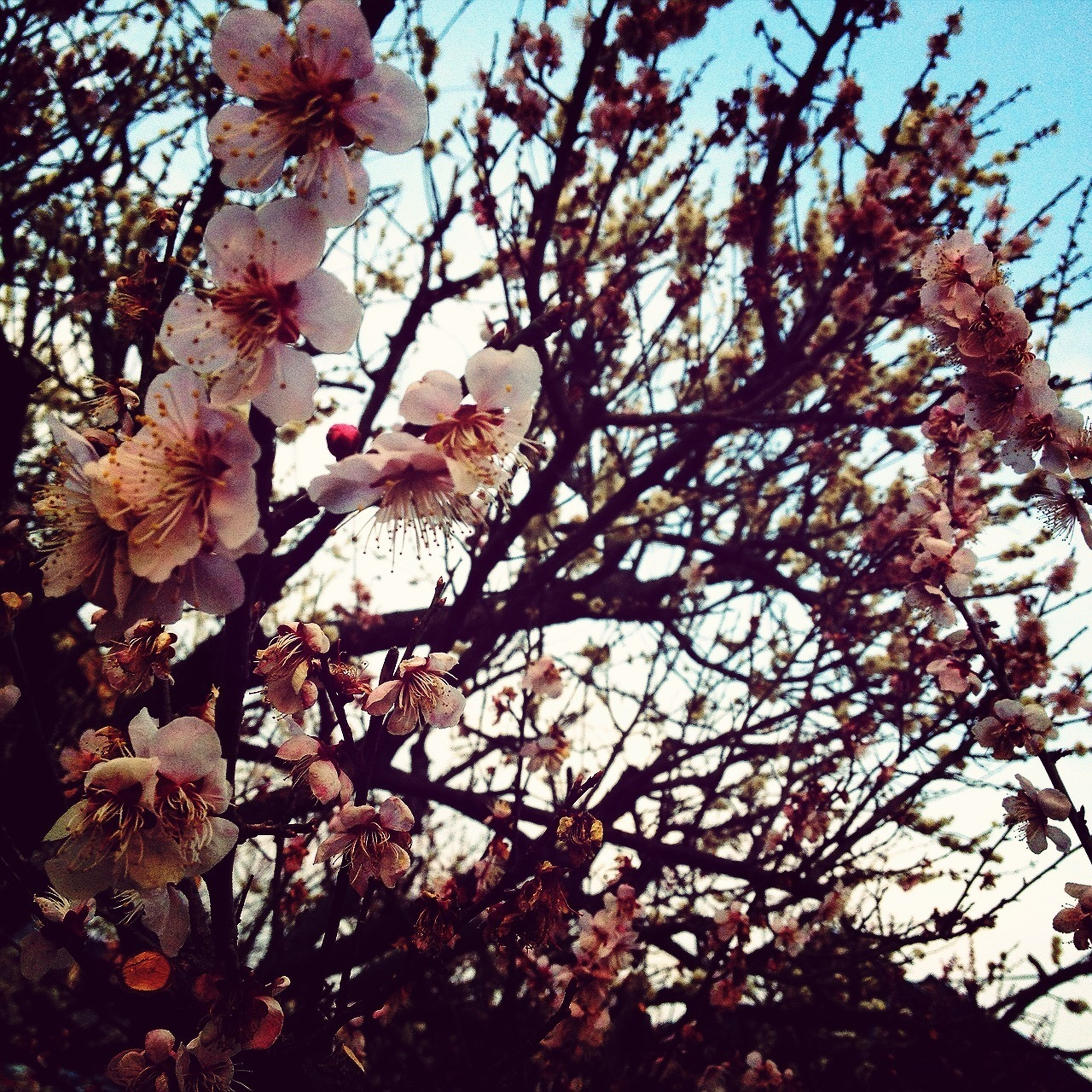 branch, low angle view, flower, tree, growth, clear sky, freshness, fragility, nature, sky, beauty in nature, blossom, cherry blossom, cherry tree, springtime, pink color, twig, in bloom, day, fruit tree