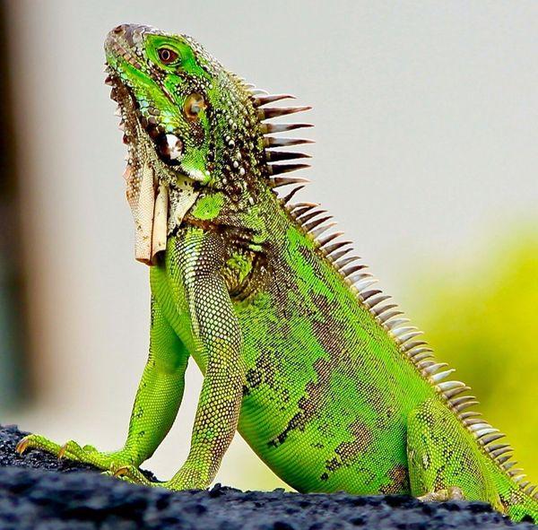 One Animal Iguana No People Animal Themes Reptile