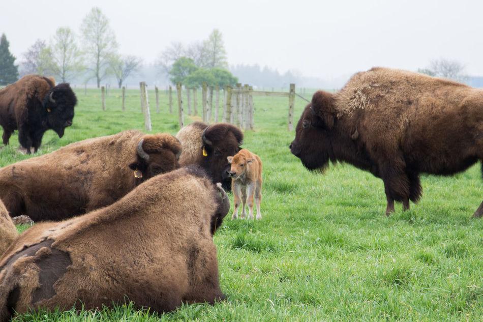 Beautiful stock photos of buffalo,  Animal,  Animal Head,  Animal Themes,  Buffalo