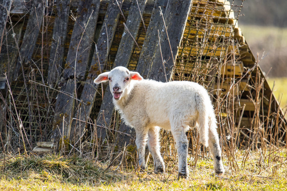 Animales Animals Campo Cordero Feld Field Grass Lamb Lamm Meadow Natur Naturaleza Nature Outdoors Oveja Ovejas Prado Schaf  Schafe Sheep Sheeps Tiere Wiese  Wildlife