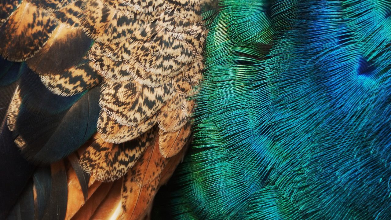 Feather  Full Frame Peacock No People Backgrounds Peacock Feather Close-up Pattern Animal Themes Nature Textured  Domestic Animals Multi Colored Beauty In Nature Bird Outdoors Day Mammal