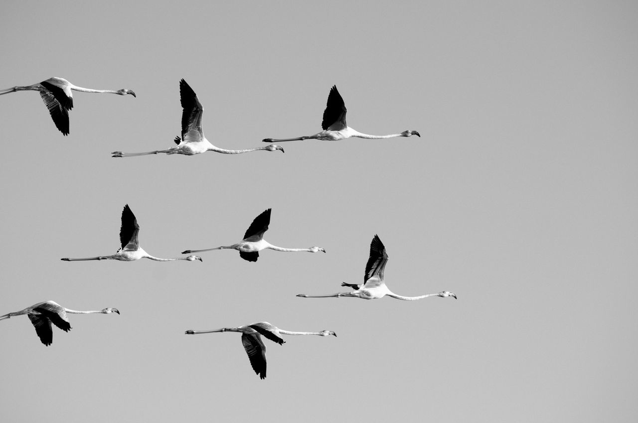 Low Angle View Of Flamingos In Clear Sky