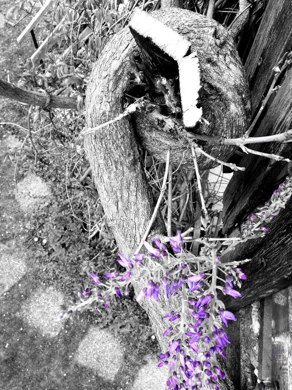 Wisteria trunk destroyed the fence...No People Outdoors Full Frame Close-up Fragility Flower Nature Day Nature_collection Nature Photography EyeEm Nature Lover Wisteria Wisteria Against Building Blackandwhite Black And White Black & White Black Buildingstyles Things I See Things Around Me Spring Blackandwhitephotography Flowers,Plants & Garden Flowerporn Flowers