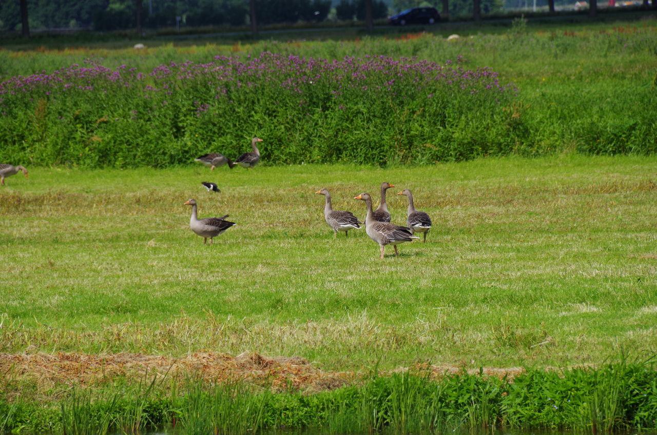 Greylag Geese On Grassy Field