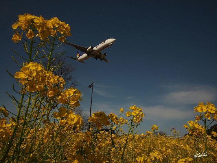 いつかその胸の中までも くもらぬように E-PL3 Flower 菜の花 Airplane Sky And Couds Noedit