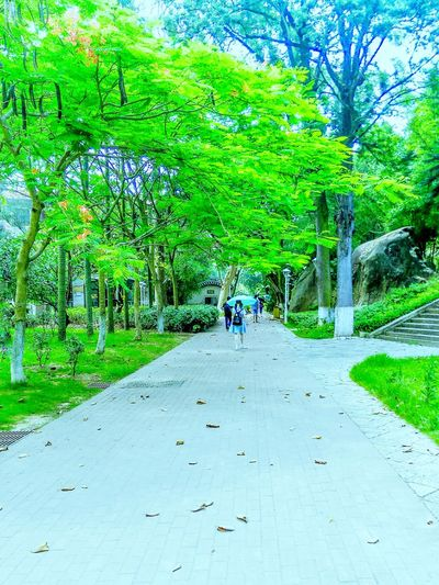 At University Flame Trees Flame Tree Green Trees Delonix Regia 鳳凰木 Student Life The Essence Of Summer Green Green Green!