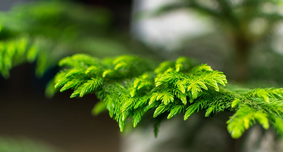 Beautiful stock photos of weihnachtsbaum, Calcutta, Close-Up, Cropped, Day