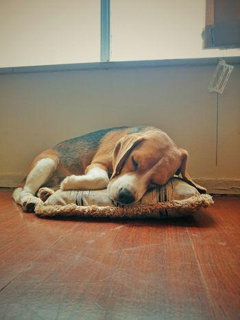 Sleeping Beagle Sleep Dog EyeEm One Animal Contrasts Light And Shadow Beaglelovers Beagles Of Eyyem Domestic Animals Animal Themes Beagle Dog Pets Capture The Moment Close-up Wallpaper