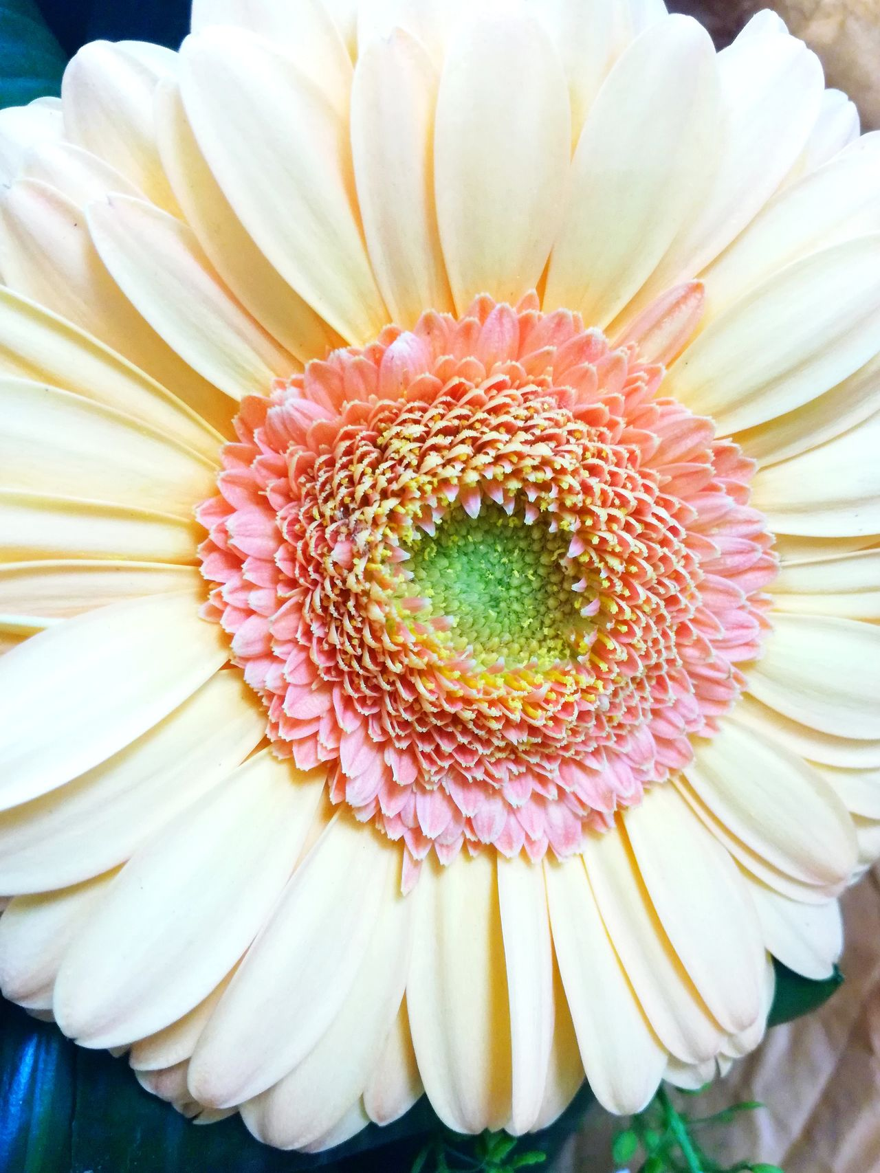 Flower Petal Flower Head Freshness Beauty In Nature Pollen Fragility No People Close-up Nature Plant Growth Day Springtime Gerbera Flower Gerberdaisy