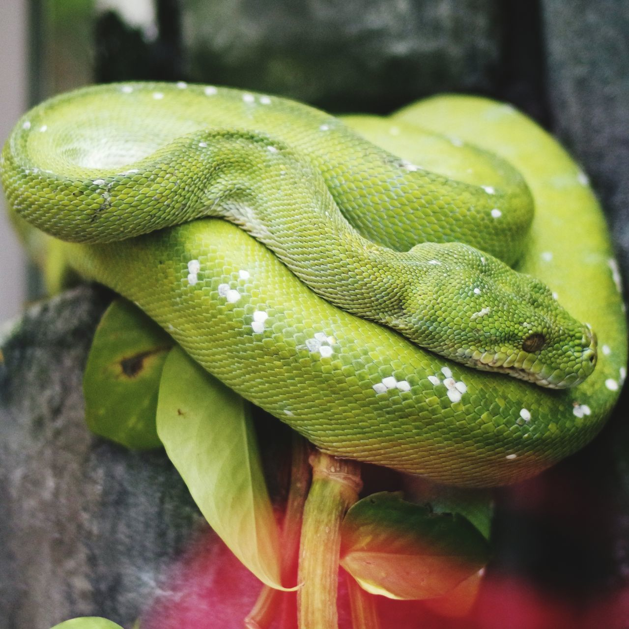 animal themes, animals in the wild, one animal, snake, reptile, animal wildlife, green color, close-up, day, nature, outdoors, animal scale, no people, focus on foreground