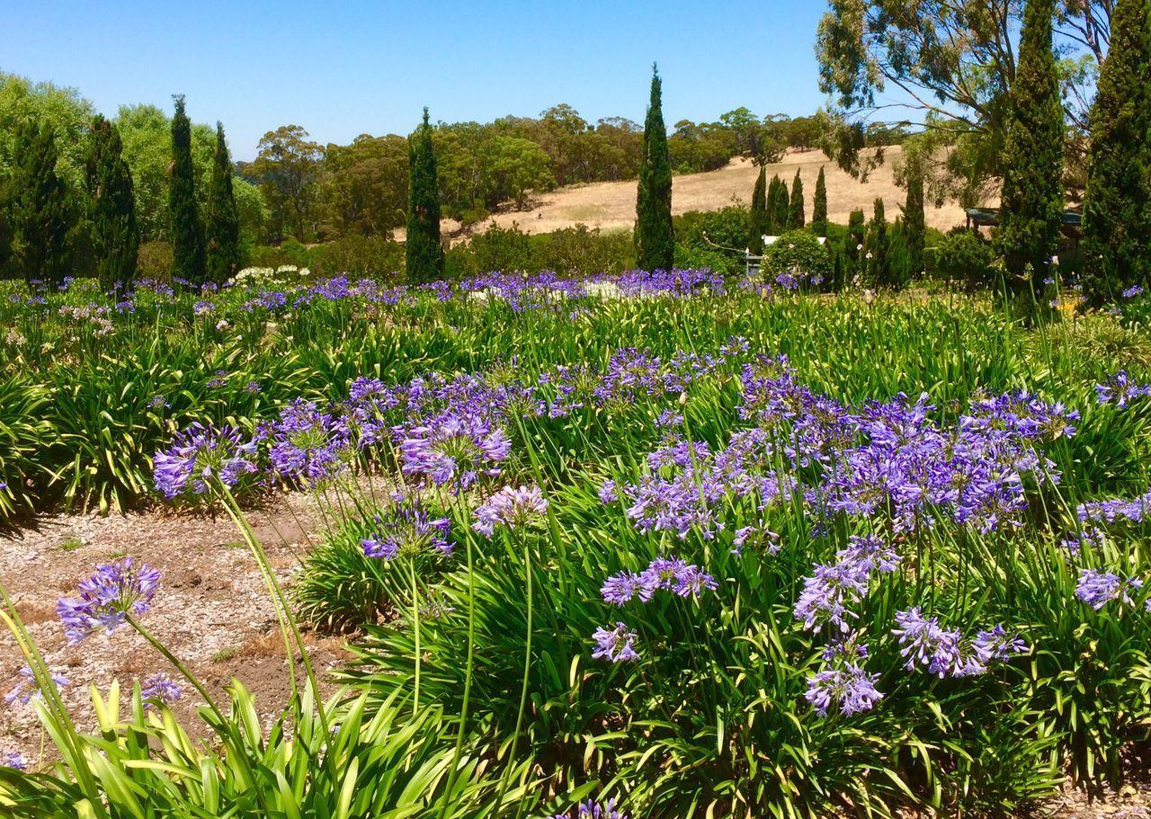Agapanthus Farm Purple Landscape