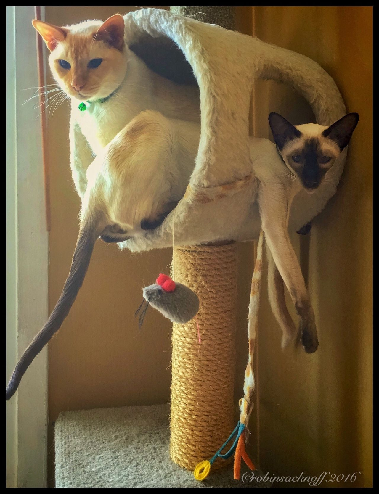 my boys Cats Siamesecats Relaxing Hanging Out Check This Out Enjoying Life