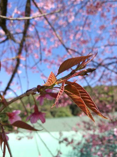 Springtime Himalayan Cherry Blossom Thai Sakura พญาเสือโคร่ง Beauty In Nature Focus On Foreground Branch Outdoors Tree