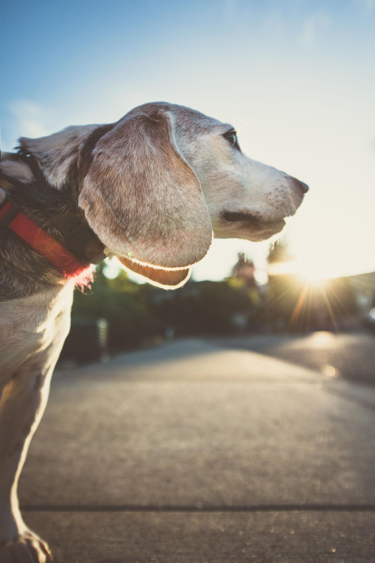Animal Themes Beagle Beaglelove Beaglelovers Dog Love Dog, Hanging Out, Enjoying Life Dogs Of EyeEm One Animal Pets Petslife Petsofinstagram Petstagram Sunbeam Sunlight First Eyeem Photo