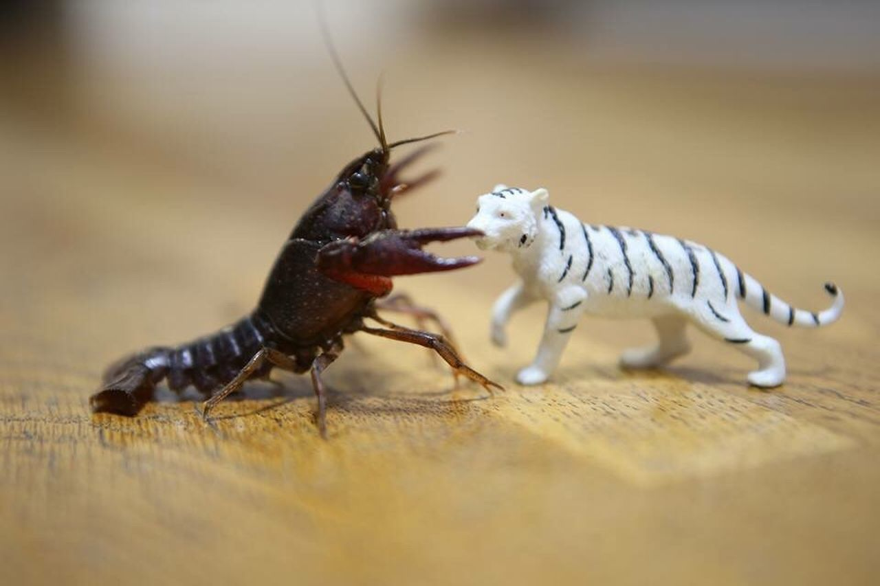 animal themes, animals in the wild, insect, one animal, no people, close-up, animal wildlife, indoors, day