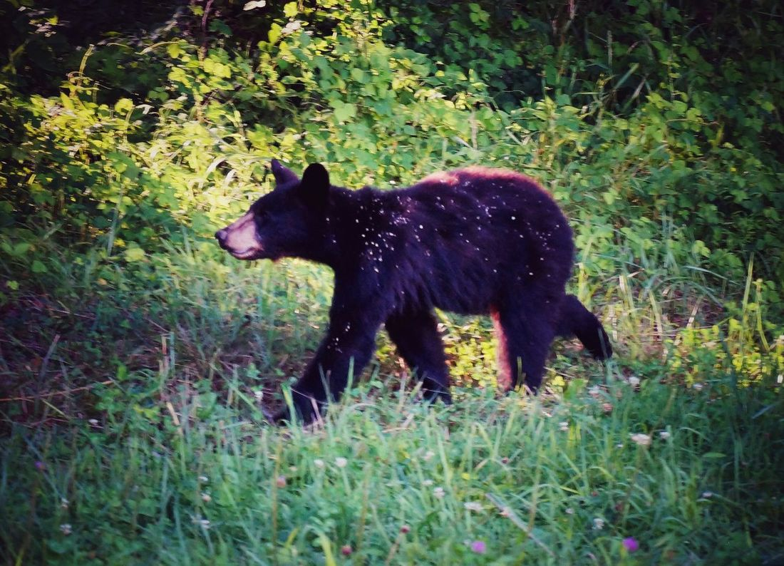 Great Smoky Mountains  Bear Cubs Forest Taking Photos Wildlife i spotted this cub in smoky. Was really exiting. EyeEm Nature Lover Cades Cove