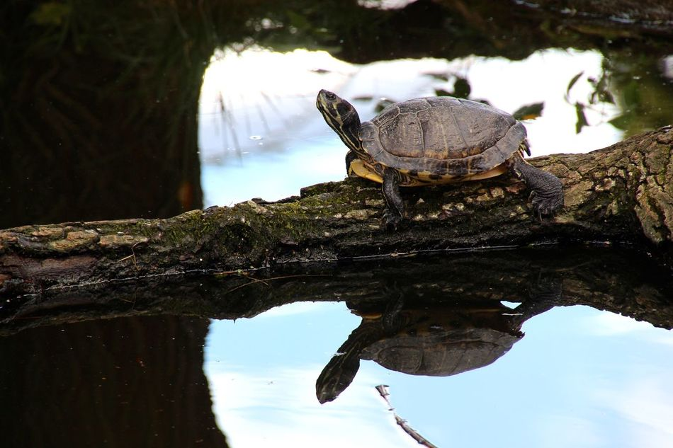 Beautiful stock photos of turtle, Animal Themes, Animals In The Wild, Day, Fallen Tree