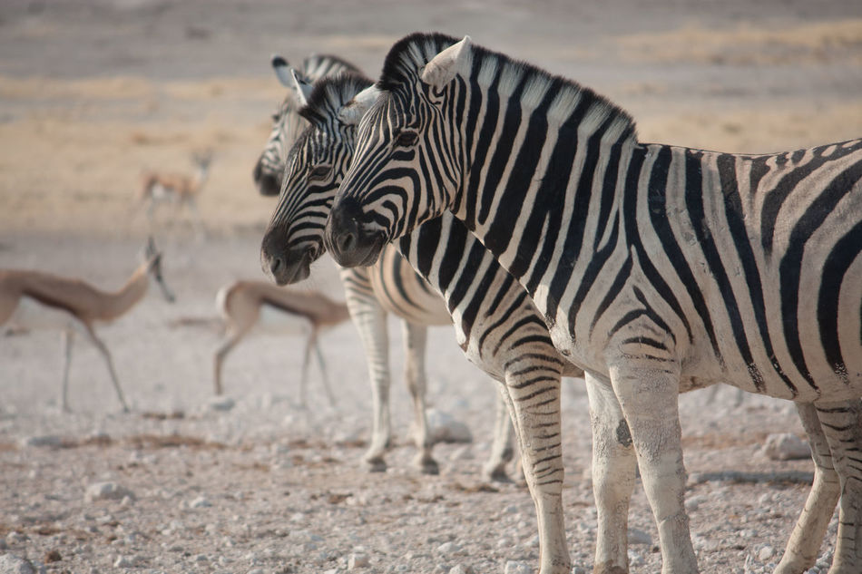 Beautiful stock photos of zebra, Animal Themes, Animals In The Wild, Antelope, Day