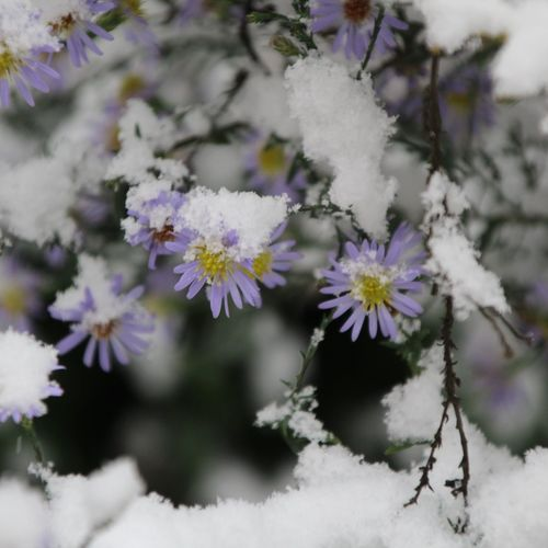 Flower Nature Purple Selective Focus Beauty In Nature Close-up Winter Fragility Day No People Plant Outdoors Branch Snow Springtime Growth Freshness Hanging Cold Temperature Tree