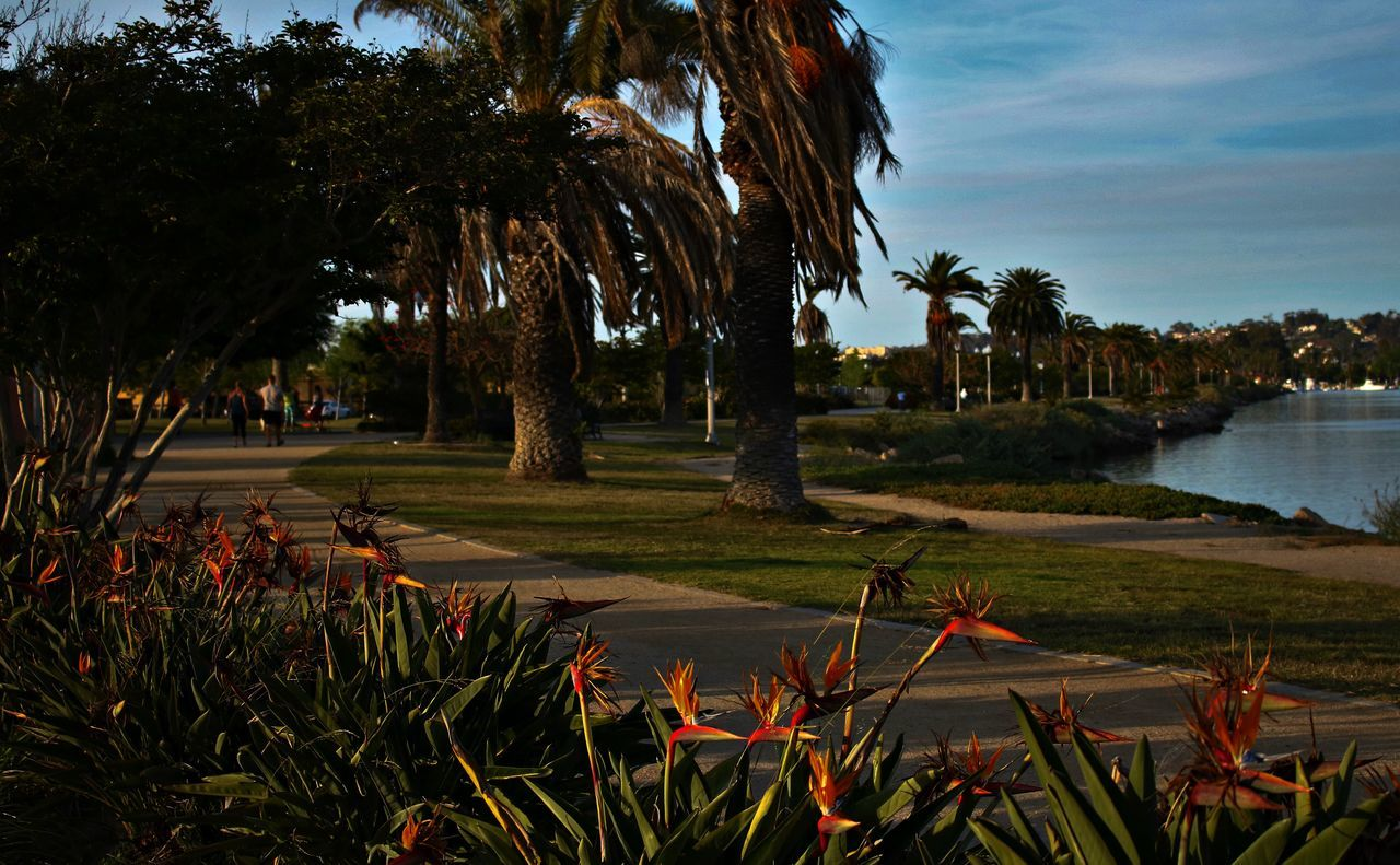 Tropical Tropical Plants Park Palm Trees Palm Tree Paradise California Tropical Park Paradise San Diego Showcase April Bird Of Paradise Flowers Nature Public Park Footpath Walkway Soothing Path Pathway Going For A Walk On A Walk Outdoors Sothern California Liberty Station Sunset
