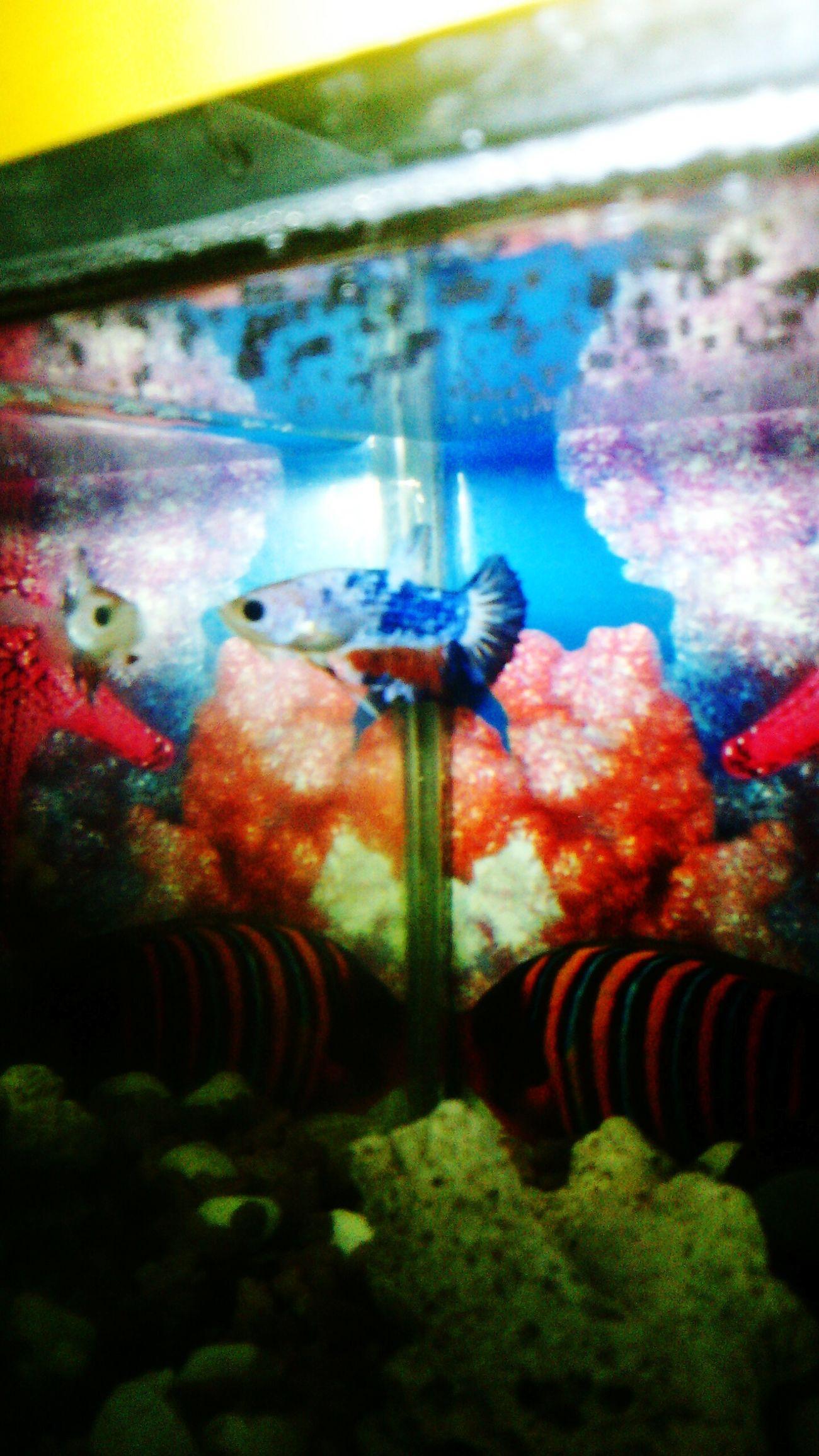 Betta Fish Ikancupang Animal Instincts