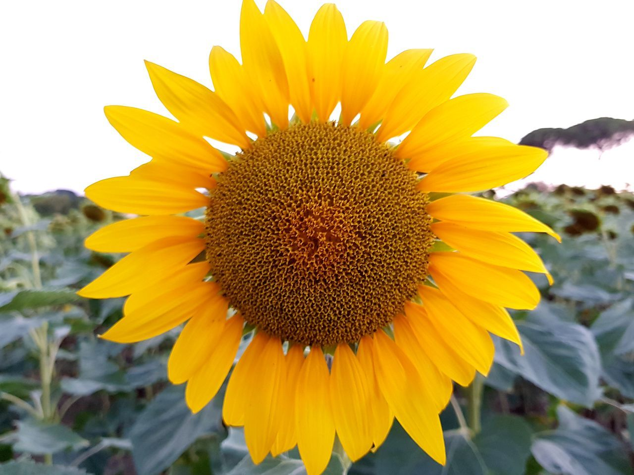 flower, yellow, petal, flower head, freshness, fragility, nature, beauty in nature, pollen, plant, sunflower, growth, close-up, no people, outdoors, day, blooming