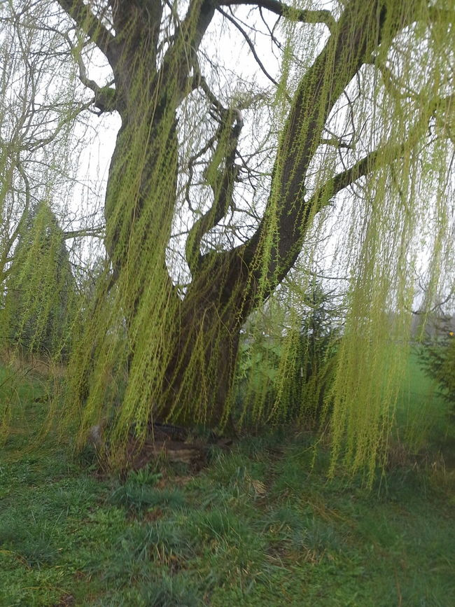 Weeping Willow at Hanowell home stead Lovely Weather So Fresh, So Clean Top Secret Mission Notes From The Underground