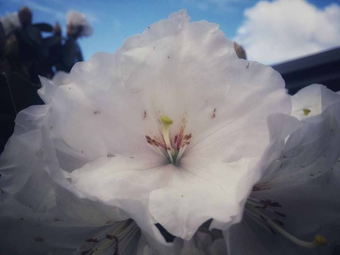 https://youtu.be/iKzRIweSBLA 💞Good morning💞 Ms Flowerporn Flower Enjoying Life & Getting Inspired Fragility Close-up Flower Head Beauty In Nature Nature No People Day Outdoors Growth Freshness My Views Spring In New Zealand Ethereal Rhododendron Blossoms Pure White Sky_collection Backgrounds Good Morning! Wonderlust