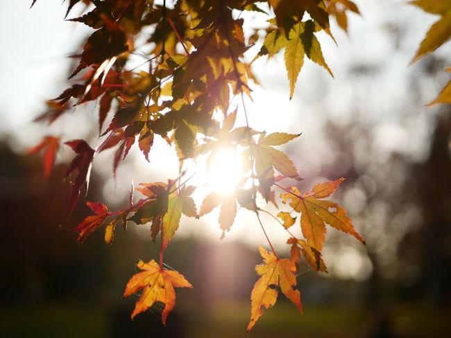 Autumn Leaf Nature Tree Maple Tree Sunny Sunlight Branch Outdoors Nature