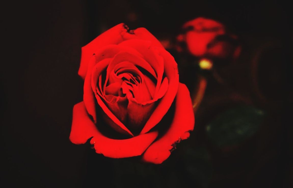 Flower Rose - Flower Red Petal Flower Head Fragility Nature Beauty In Nature Rose Petals Freshness Close-up No People Love Day Outdoors