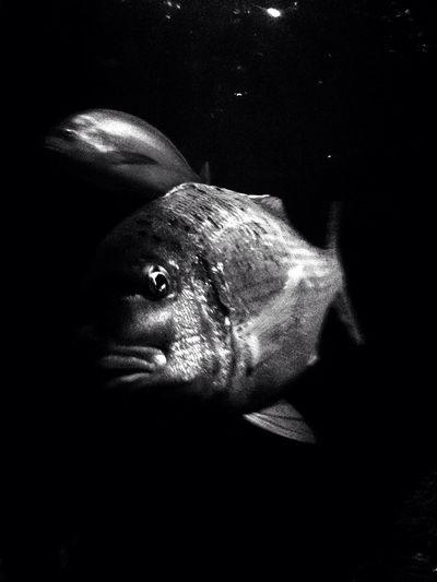 Black Fish Fish