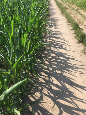 Pattern Maisfeld Feldrand Shadow Sunlight Growth Day Outdoors Nature Grass Agriculture No People Beauty In Nature Close-up Nature